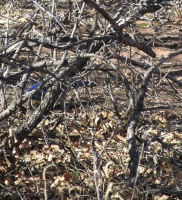 Blue Bird hiding in the Garden of the Gods
