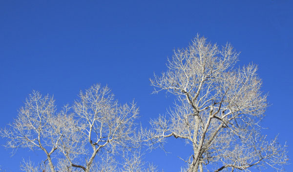 Sunlight on Stark White Branches Against a Blue Sky