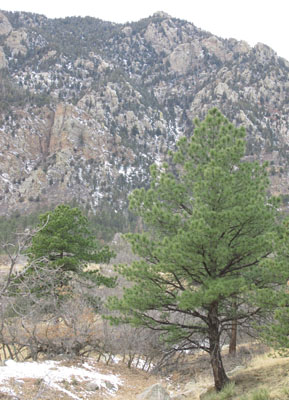 Pine Trees in Front of Cheyenne Mountain
