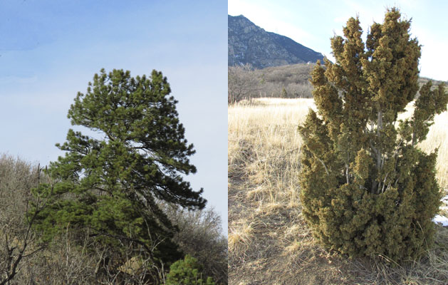 Two Joyful Trees in Cheyenne Canyon State Park