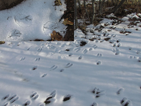 Wild Turkey & Deer Tracks at Cheyenne Canyon State Park