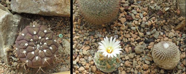 Cactus Blooming at Denver Botanical Gardens