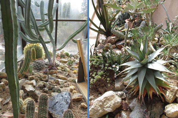 Cactus Thriving at Denver Botanical Gardens