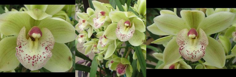 Greenish Orchids at Denver Botanical Gardens