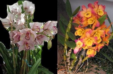 Tall Jungle Orchids at Denver Botanical Gardens