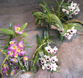 Orchids  along the waterfall.