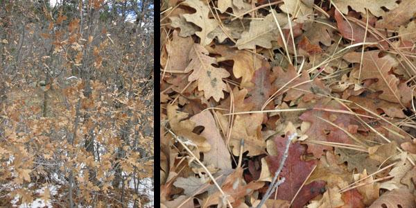 Scrub Oak in Cheyenne Mtn State Park