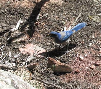 Mountain Blue Bird eating a pistachio