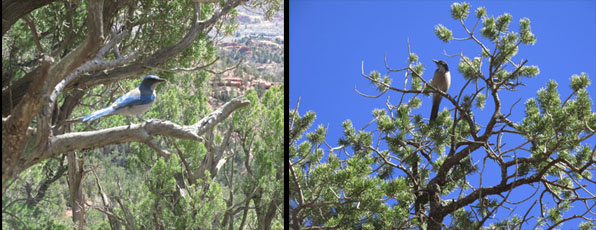 Mountain Blue Bird in Ancient Cedars in Garden of the Gods