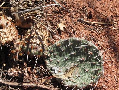 Cactus in the Garden of the Gods Colorado