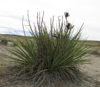 Yucca On the Prairie at CO Paint Mines