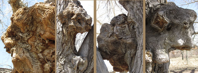 Tree of Many Knotty Faces  at Fountain Creek Nature Center