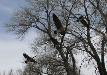 Geese Flying overhead at Fountain Creek Nature Center