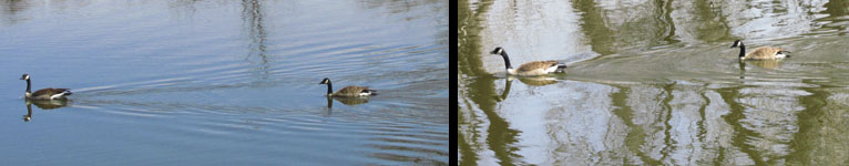 Geese Swimming at Fountain Creek Nature Center