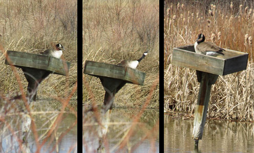 nesting box for goose | West of Rayleigh