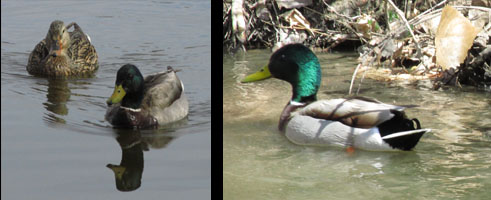Mallards at Fountain Creek Nature Center