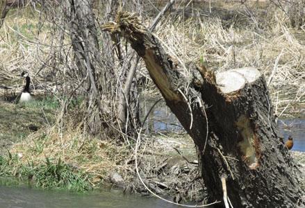 Goose, Robin & Bird Tree  at Fountain Creek Nature Center
