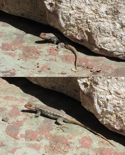 Lizard in Williams Canyon