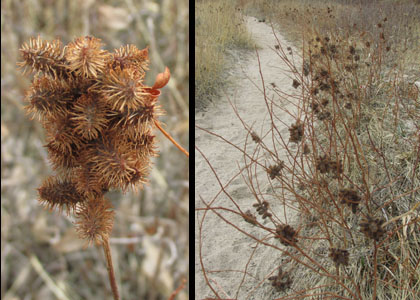 Fuzzy Brown Plants at Calhan Paint Mines