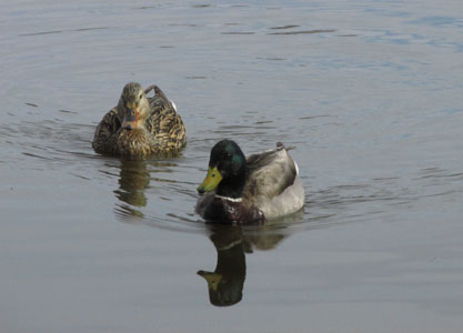 Mallard Ducks at Fountain Creek Nature Center