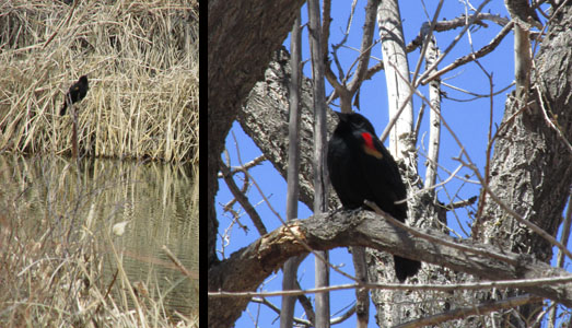 Red-winged Blackbirds at Fountain Creek Nature Center