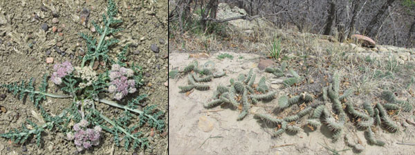 Cactus & Purple Flowers in Ute Valley Park