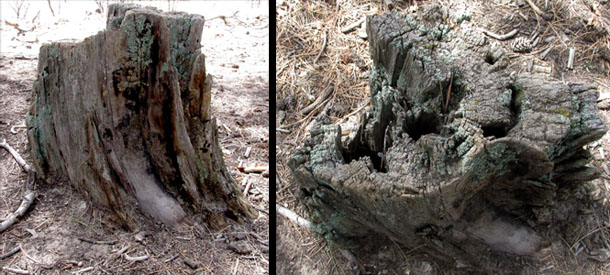 Tree Stumps at Ute Valley Park