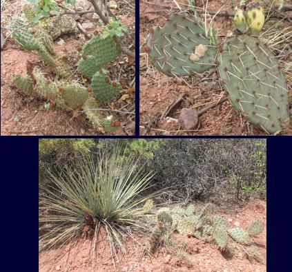 Cactus in Garden of the Gods