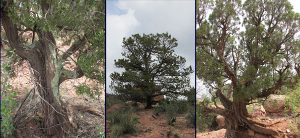 Ancient Cedar Trees in the Garden of the Gods
