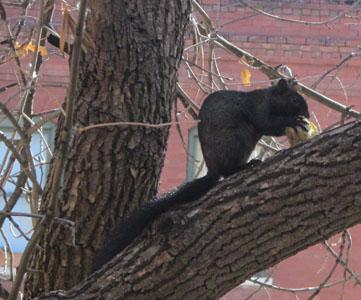 Black Squirrel in Manitou Springs