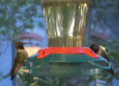 Hummingbirds sharing a Feeder in Manitou Springs