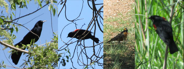 Robins, Red-winged Blackbirds in Fountain Valley Park