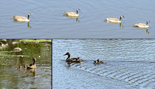 Mama Mallard Duck & Geese at Fountain Valley Park
