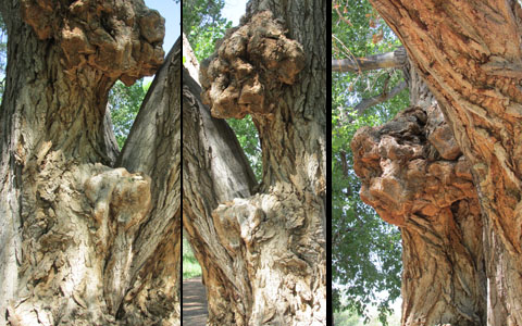 Tree Faces in Fountain Valley Park
