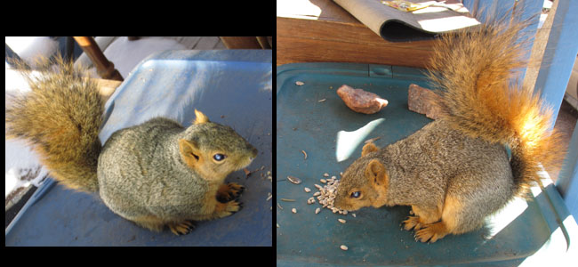 Half-Blind Squirrel in Manitou Springs