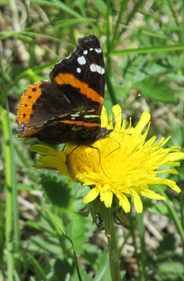 Butterfly on Dandelion in Lovell Gulch in Colorado