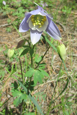 Columbine in Lovell Gulch in Colorado