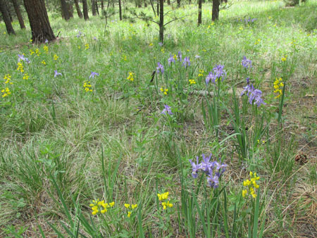 Wild Iris at Lovell Gulch Colorado