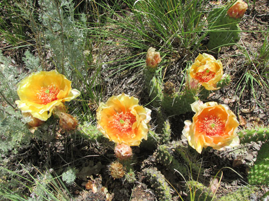 Peach Prickly Pear Cactus