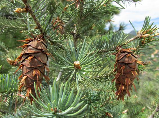 Pine cones on Interman Trail