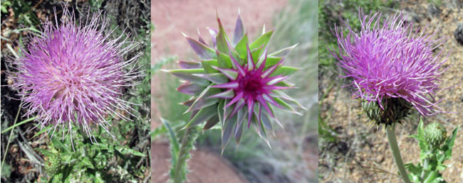 Many Stages of a Thistle