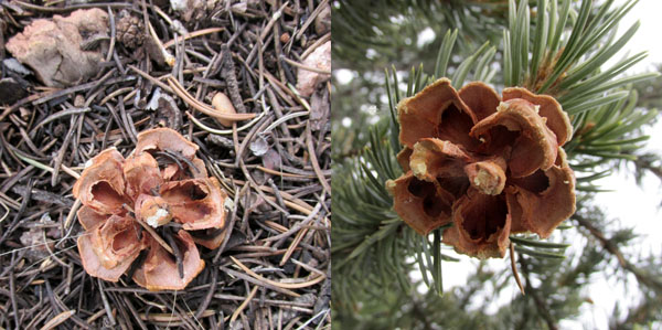 Web_PineCones_5703-12